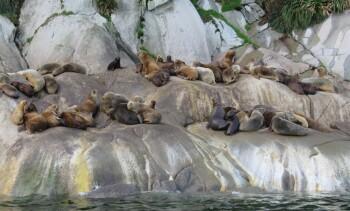 Chilenos desarrollan sistema disuasivo sustentable para alejar lobos marinos