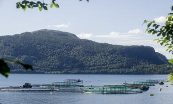 Rømt laks i Tingvollfjorden