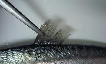 Índice relativo de aletas podría usarse como indicador de bienestar animal en salmón