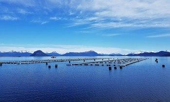 Logro histórico para Blumar: peso de cosecha de salmón sobre 6 kilos en Magallanes