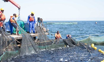 Benchmark signs broodstock deal with leading African tilapia farmer