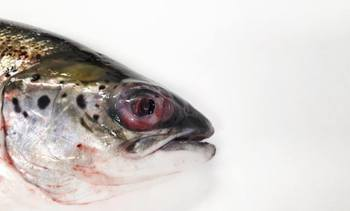 'Scottish' salmon sickness bacteria identified in Norway for the first time