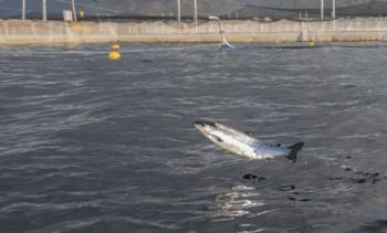 El proyecto que busca etiquetar los salmones chilenos que han usado antibióticos