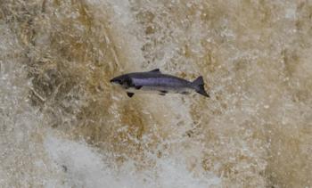 Hatchery-raised salmon 'don't boost wild numbers'