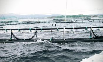 Wind and current 'decisive' for salmon lice spread