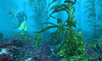 Endangered kelp thriving next to salmon pens