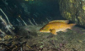 HI anbefaler krav om mindre innganger og enderist i leppefiskteinene