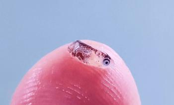 Novel virus discovered in ballan wrasse hatchlings