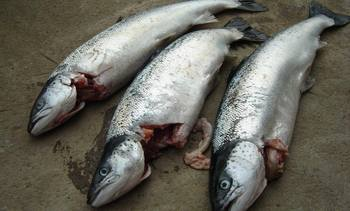Seal attack causes escape of 52,000 salmon off Skye