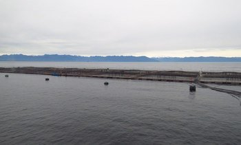 Revelan uso de antibióticos y antiparasitarios por productor de salmón chileno