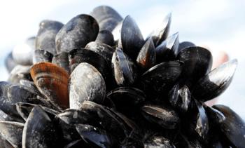 'Designer' algae may open door to shellfish expansion