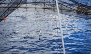 Mowi Scotland shines as fish health improves