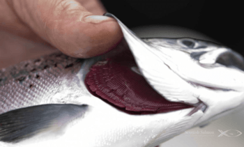 Covid measures 'didn't affect farmed salmon welfare'