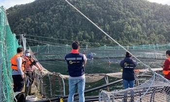 Retiran 2.000 toneladas de mortalidad de salmón tras floración de algas nocivas