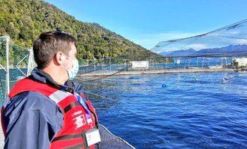 Autoridad registra mortalidad de casi 4.000 toneladas de salmones por FAN