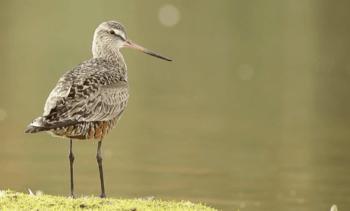 Evalúan presencia de genes de resistencia en aves asociadas a áreas salmonicultoras