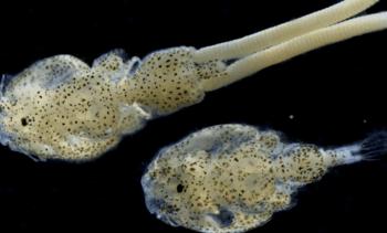 Descubren 31 especies bacterianas con potencial patogénico en Caligus