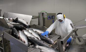 Planta de salmón en Magallanes retoma operación tras detectar casos Covid-19