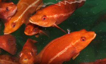 Better disease protection for salmon pen cleaner fish