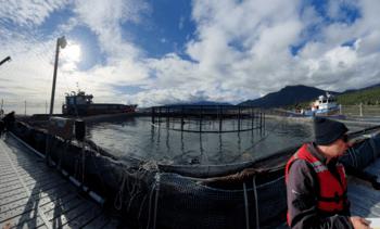 Cinco productores de salmón chileno incrementan uso de peróxido de hidrógeno