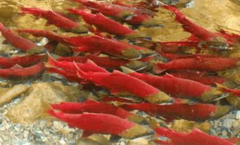 Fitness of wild sockeye salmon unaffected by PRV