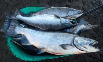 Presentan primer cultivo chileno de King Salmon en RAS a nivel mundial