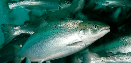Chile salmonid production up 8.5% in first third of year