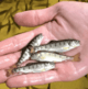 Trout fry vaccine to be trialled in Scotland