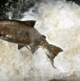 Anglers' claims don't hold water, say salmon farmers