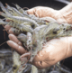 OTAQ expands from salmon into shrimp with Minnowtech