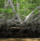 Aquaculture certifier branches out to save mangroves
