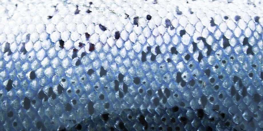 A four-year AquaGen-led project aims to produce salmon with more robust skin health. Photo: AquaGen
